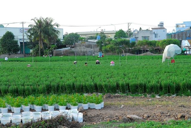 Hoa tết không kết nụ, nông dân xót xa vứt bỏ hàng nghìn chậu - 5