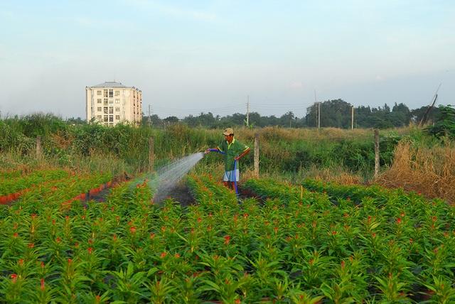 Hoa tết không kết nụ, nông dân xót xa vứt bỏ hàng nghìn chậu - 7