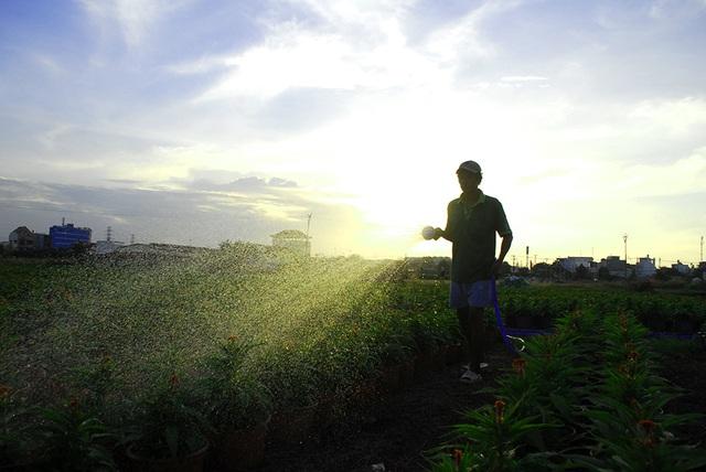 Hoa tết không kết nụ, nông dân xót xa vứt bỏ hàng nghìn chậu - 8