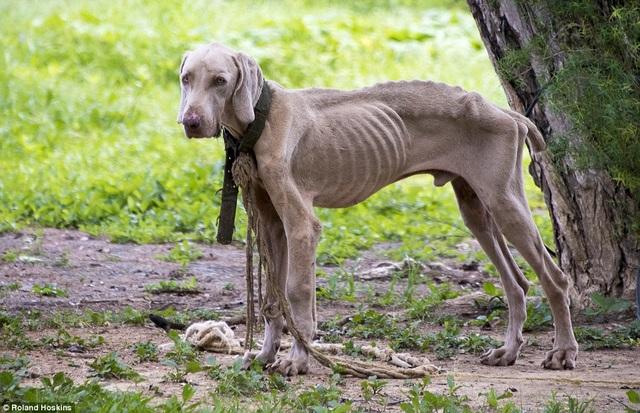 Những con chó bị bỏ đói gầy trơ xương (Ảnh: Daily Mail)