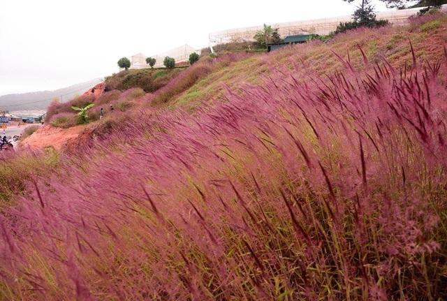 Đồi cỏ hồng Đà Lạt mang lại vẻ đẹp mộc mạc nhưng đầy cuốn hút.