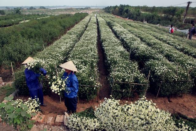Cuối thu đầu đông là thời điểm cúc họa mi nở rộ, những vườn hoa nổi tiếng tại Hà Nội như Nhật Tân, Tây Tựu đã bung nở. Người nông dân đang hối hả thu hoạch cúc họa mi để mang đổ buôn cho các thương lái.