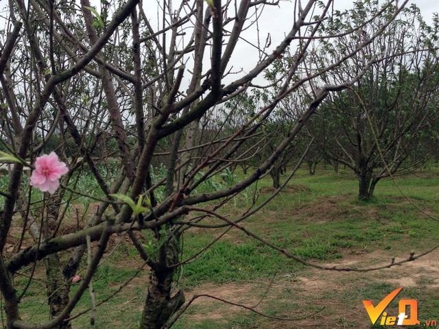 Thị trường đào cảnh chơi Tết năm nay được dự báo các cây có thế khác biệt sẽ lên ngôi và tạo nên cơn sốt.
