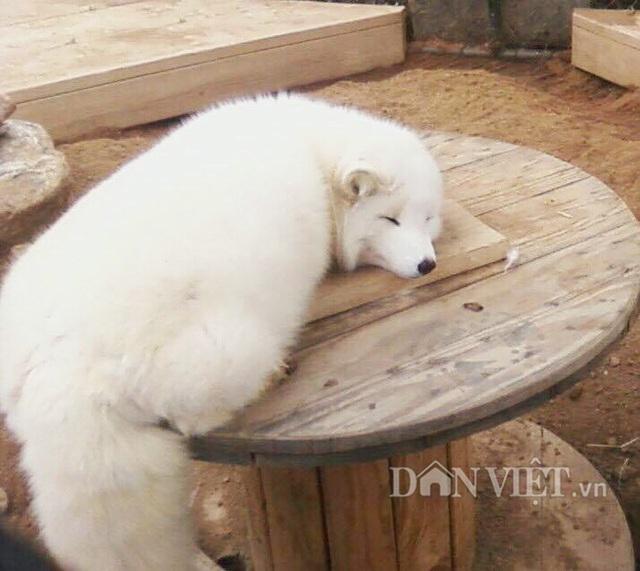 Loài cáo tuyết tại trang trại anh Minh rất thân thiện, hiền lành.