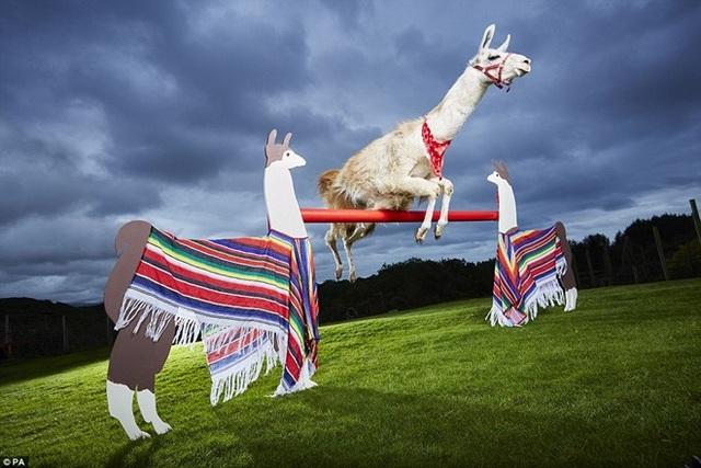 Con lạc đà không bướu nhảy cao nhất thế giới. Danh hiệu trên thuộc về chú lạc đà ở Porthmadog, North Wales. Nó đã chinh phục mức xà hơn 1m.