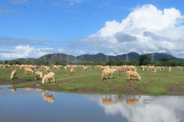 4 cánh đồng chăn cừu đẹp đến mê hồn ở Việt Nam - 1