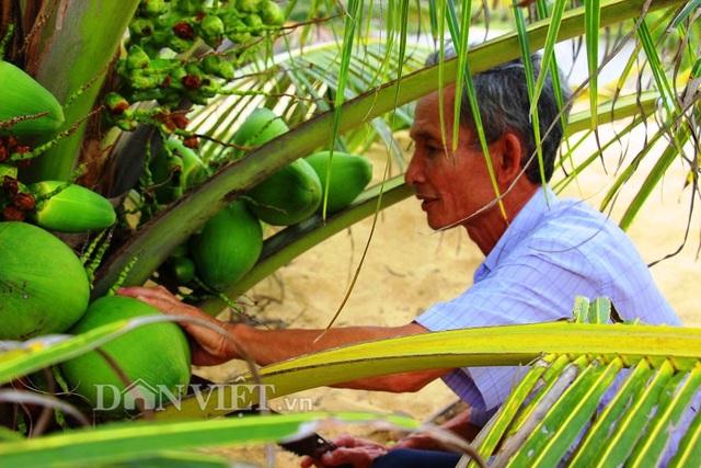 """""""Quá đã"""" vườn dừa xiêm lùn siêu ngọt trĩu trái nằm sát biển - 2"""