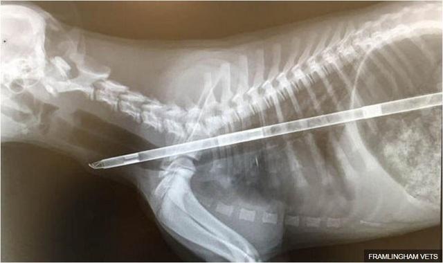Chú chó được cứu sống sau khi nuốt vật thể dài gần nửa mét.