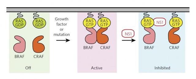 Phát hiện cách ức chế gen gây ung thư - 1