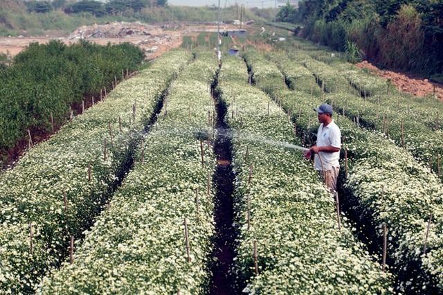 Đây là loài hoa đã và đang khiến người nông dân ăn mừng bởi năm nay cúc được mùa, được giá. Để hoa ra đúng độ, người dân bắt đầu ươm mầm từ tháng 5 âm lịch. Đến tháng 10 âm lịch, khi tiết trời se lạnh cũng là lúc hoa bung nở.