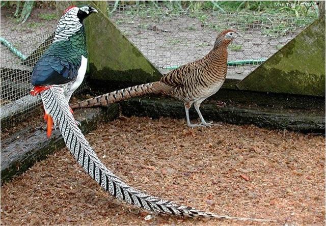 Chim trĩ bảy màu có đuổi rất dài và bộ lông sặc sỡ (Nguồn:hatthocvang)