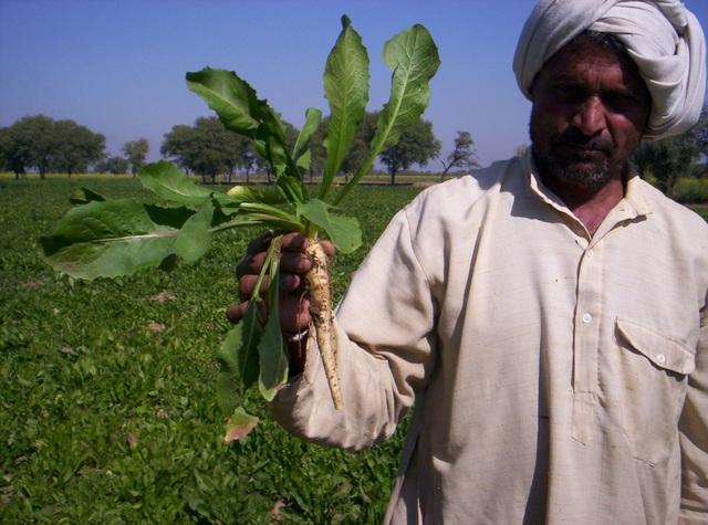 Rễ của cây rau diếp xoăn có chứa hàm lượng cao chất xơ được dùng phổ biến hiện nay