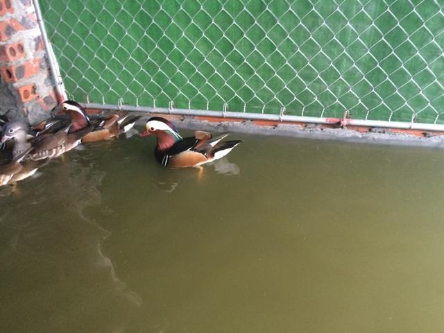 Vịt uyên ương đang bơi trong lồng được thiết kế riêng