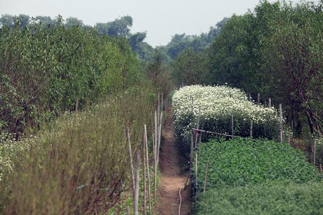 Người dân trồng hoa tại Nhật Tân thường trồng xen kẽ cúc họa mi cạnh những luống hoa đào thẳng tắp để tận dụng đất trống.