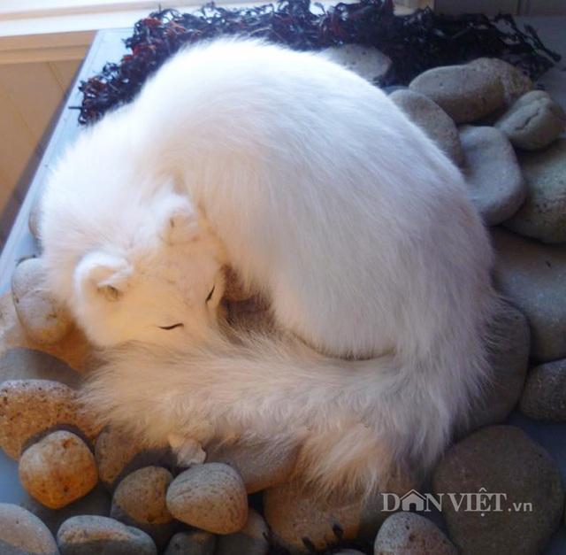 Chuyện lạ: Nuôi cáo tuyết Bắc Cực làm thú cưng ở Việt Nam - 8