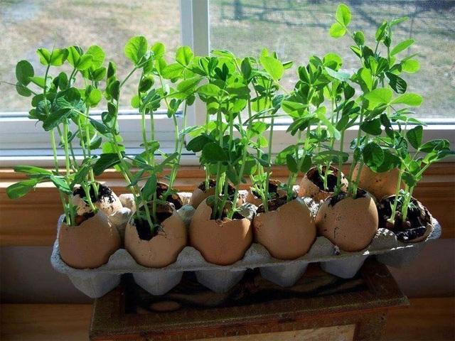... hoặc vỏ trứng cũng có thể giúp bạn có thêm dụng cụ trồng rau