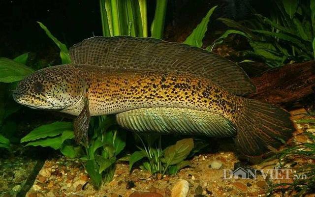 Đặc biệt cá có vây bơi màu vàng cam và có nhiều chấm nhỏ trên vây bơi.