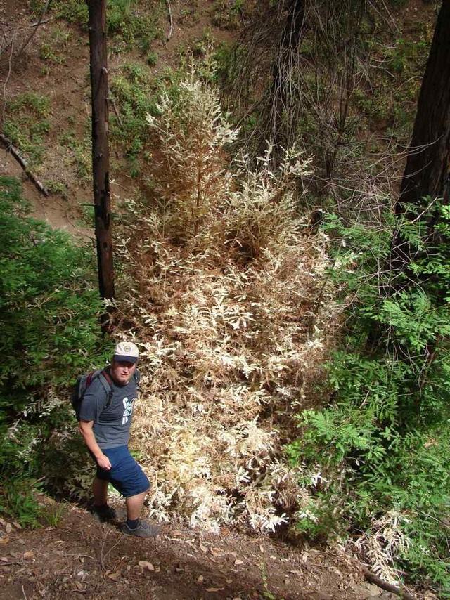 Cây gỗ hồng bạch tạng tự đầu độc chính mình để lấy chất dinh dưỡng.