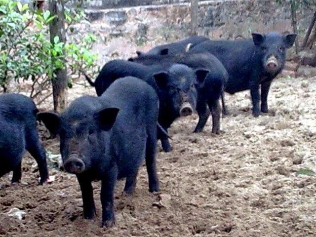 Lợn đen được chăn thả tự nhiên