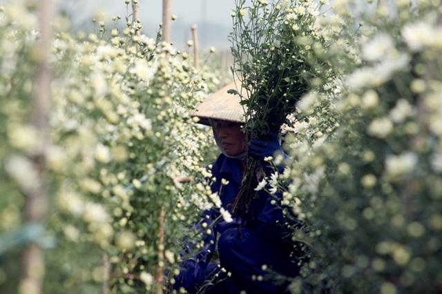Cúc họa mi tại Nhật Tân được trồng theo 2 phương thức là trồng xen canh với đào và trồng luống riêng. Những ruộng cúc chạy dài đến sát bờ sông Hồng cả trăm mét hứa hẹn nông dân sẽ thu về cả trăm triệu đồng.