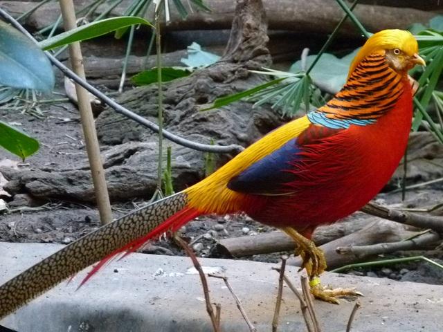 Chim trĩ 7 màu được nuôi nhiều trong các biệt thự, nhà vườn, khu du lịch sinh thái