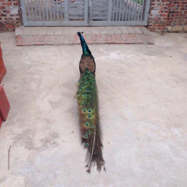 Chim Công của có bộ lông rất dài và đẹp