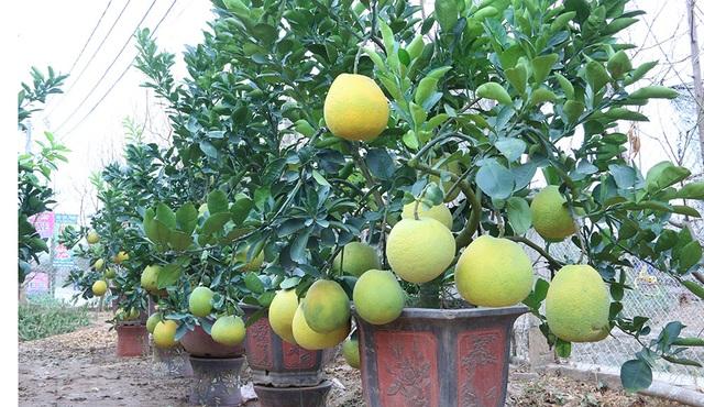 Bưởi cảnh được trồng từ gốc tự nhiên nhưng phải trải qua quá trình chăm sóc, tạo kiểu rất công phu để cho ra cây có thế đẹp, nhiều quả. Đặc biệt, quả bưởi phải đảm bảo chín đẹp đúng vào dịp Tết.