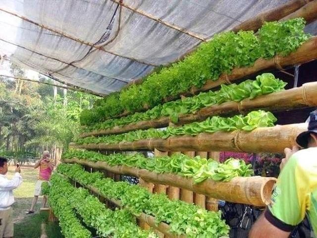 Những cây tre cũng được dùng làm chỗ chứa đất trồng rau