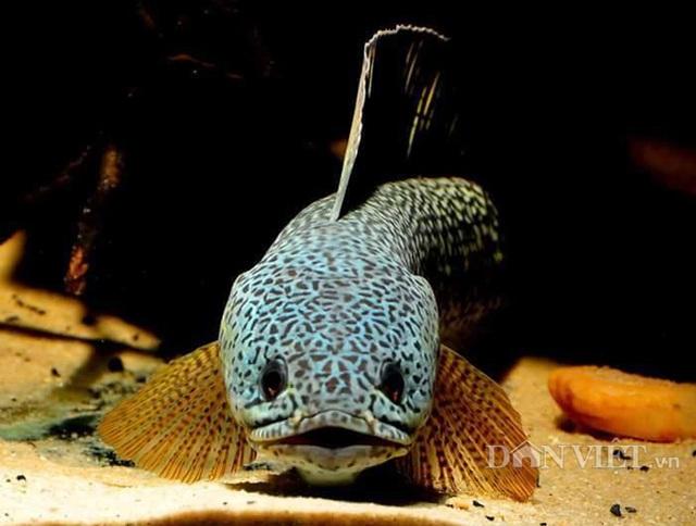 Cận cảnh một con cá lóc hoàng đế thuộc hàng quý hiếm của anh Ken Trần có giá lên đến hàng nghìn đô/con.