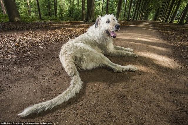Chú chó Keon sở hữu cái đuôi dài nhất thế giới. Keon hiện đang sống với người chủ mình là ông Ilse Loodts, 46 tuổi, ở Westerlo, Bỉ.
