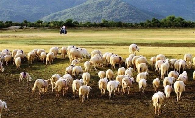 Đồng cừu Suối Nghệ, Bà Rịa - Vũng Tàu
