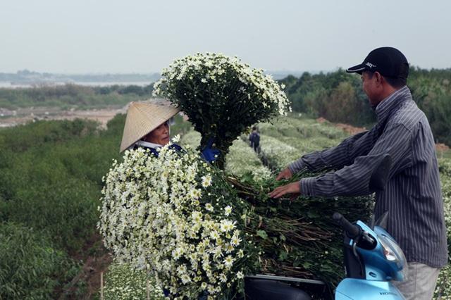 Chị Nguyệt (một hộ trồng cúc họa mi ở Nhật Tân) cho biết: Năm nay, cúc nở muộn hơn khoảng 1 tuần so với mọi năm vì nắng nóng kéo dài, rét muộn. Tuy nhiên, thời tiết năm nay thuận lợi nên cúc họa mi ra nhiều nhánh, bung nhiều hoa, sản lượng cúc cũng tăng hơn và đẹp hơn.