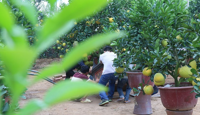 Nhà vườn ở Tứ Liên (Tây Hồ, Hà Nội) này có khoảng trên dưới 70 gốc bưởi. Chủ vườn cho biết, giá bưởi cảnh từ 3 triệu đồng đến 40 triệu đồng, tùy cây.