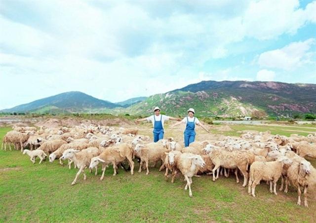 4 cánh đồng chăn cừu đẹp đến mê hồn ở Việt Nam - 4