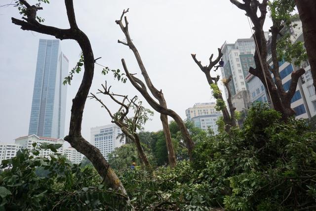 Trung bình mỗi ngày, đơn vị thi công cắt tỉa được từ 6-10 cây xanh trên tuyến đường Kim Mã.  Trước đó, Sở Xây dựng Hà Nội đã cấp phép dịch chuyển, chặt hạ, cắt tỉa tổng cộng 109 cây xanh ở đoạn đường trên. Trong đó dịch chuyển 106 cây phát triển bình thường, nằm trong chỉ giới giải phóng mặt bằng và 3 cây có dấu hiệu sâu mục, dịch chuyển về vườn ươm để chữa trị.Ngoài ra, 2 cây bị chặt hạ nằm trong chỉ giới xây dựng công trình là do đã chết, 1 cây được cắt tỉa có cành vươn vướng vào mặt bằng thi công dự án.