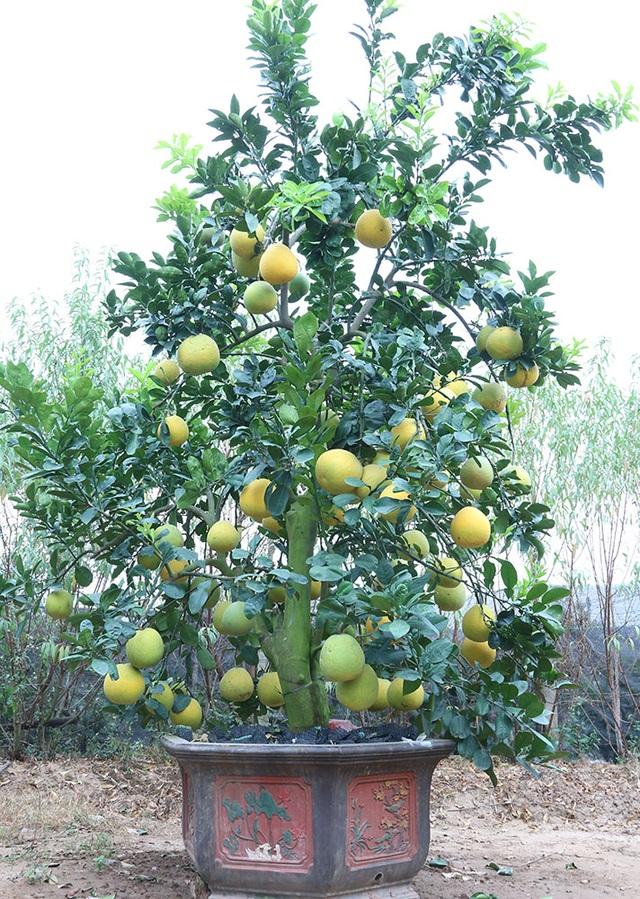 Cây bưởi này chủ vườn ra giá 40 triệu đồng, trên cây khoảng 70 quả. Những cây bưởi đắt tiền như thế này thường được khách thuê thay vì mua đứt. Bưởi cảnh cũng như đào quất, chơi tết xong rất khó tự chăm sóc để có thể chơi tiếp những năm sau.