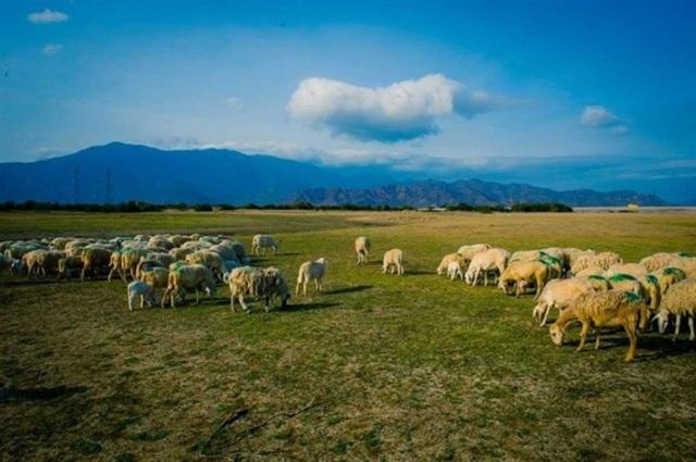 4 cánh đồng chăn cừu đẹp đến mê hồn ở Việt Nam - 5