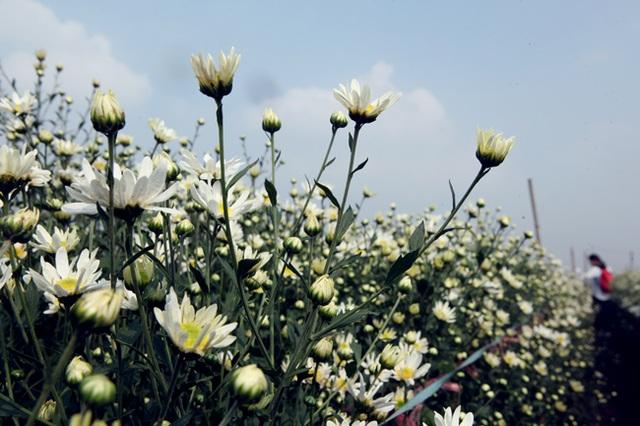 Tuy nhiên, để có vườn hoa đẹp, suốt 4 tháng chúng tôi phải chăm sóc cật lực