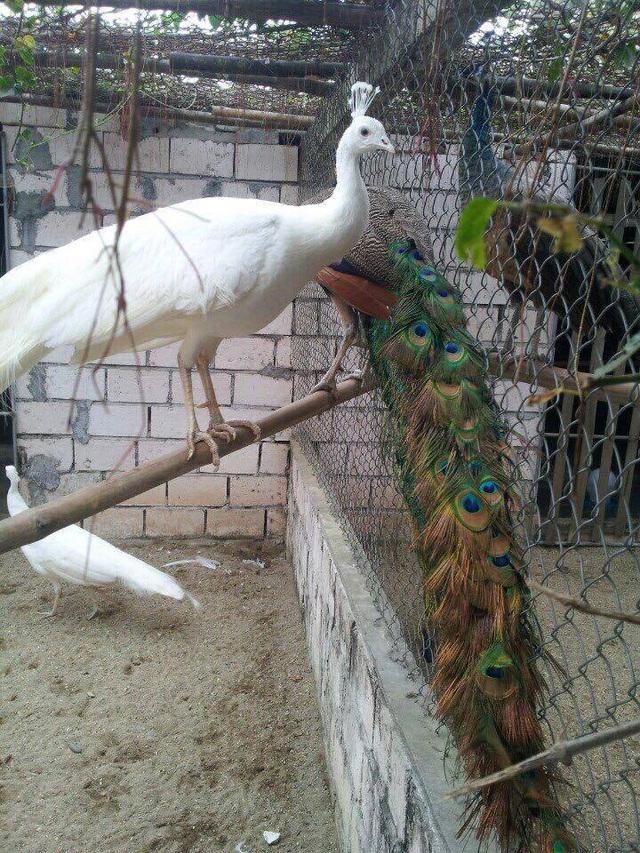 Hai loại Công được nuôi chung trong chuồng