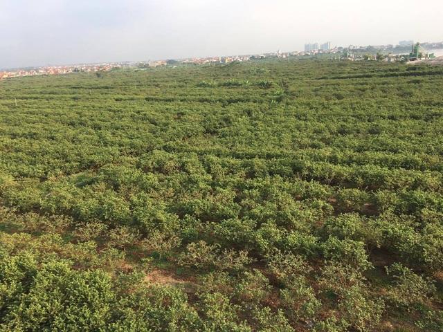 Nhiều người đã thuê bãi ven sông Hồng để trồng ổi