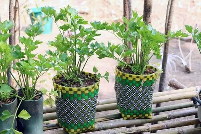 Rau được trồng trong các giỏ nhựa