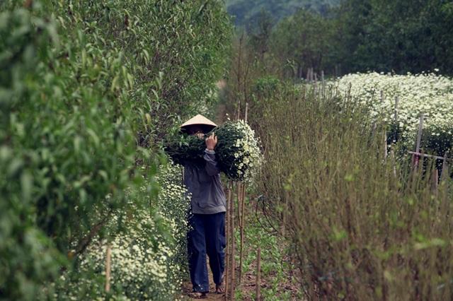Hiện nay, hoa đang rộ, mỗi ngày, chị Quyên cắt khoảng 30 bó lớn để bán cho thương lái, cắt đến đâu, bán hết đến đó. Nhiều thương lái phải đặt trước mới có hàng.