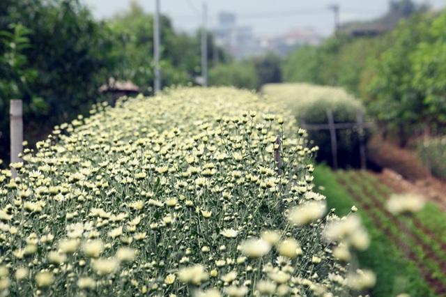 Cúc họa mi thường chỉ nở rộ trong vòng 10 ngày rồi tàn nên người dân Nhật Tân cố gắng thu hoạch nhanh để bán