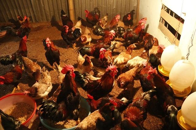 Úm gà là một kỹ thuật quan trọng trong việc chăn nuôi gà