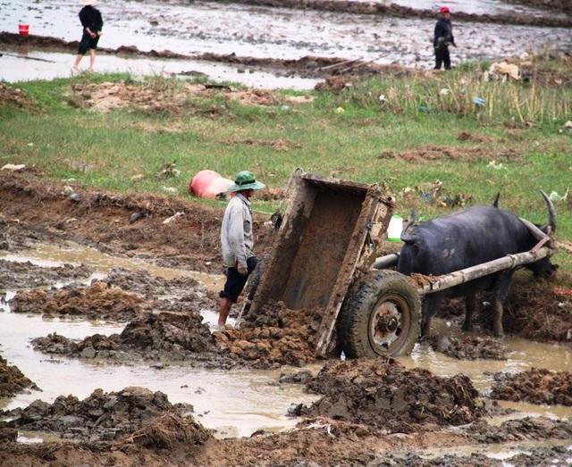 Những đám ruộng bị lũ cuốn xói sâu, nông dân phải dùng trâu kéo đất từ nơi cao để san phẳng mặt ruộng