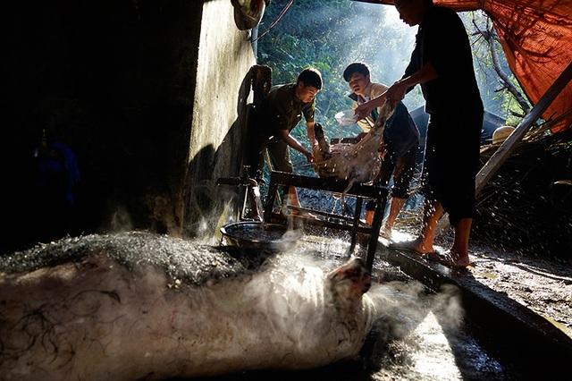 Nhà trai mổ lợn để chuẩn bị mang 100 kg thịt đến nhà gái.