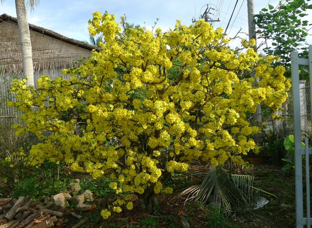 Chủ nhân lão mai này cho biết, nhiều năm qua dù thời tiết bất lợi thế nào nhưng lão mãi vẫn ra hoa đúng dịp tết và luôn rực rỡ thế này.