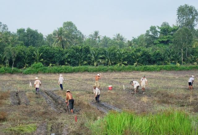 Nông dân Bình Tân - Vĩnh Long đào đất chuẩn bị vụ mùa khoai lang