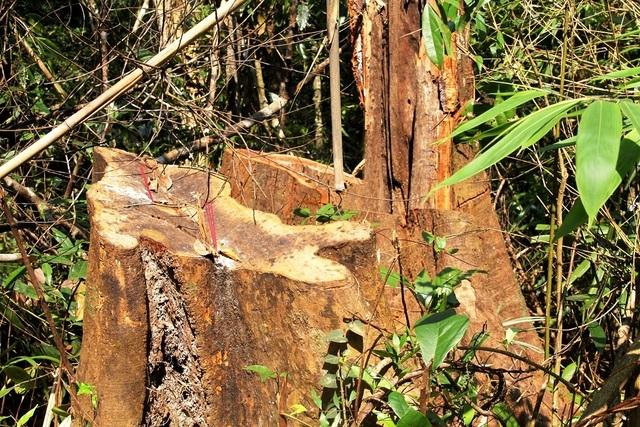 Một gốc gỗ có đường kính lớn bị đốn hạ