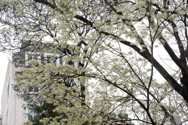 Những cây hoa sưa trên phố đang độ ra hoa sung mãn nhất.